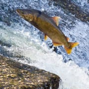 Salmon at Hemphill Dam