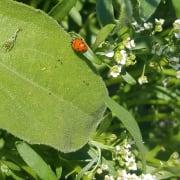 Ladybug in a hedgerow