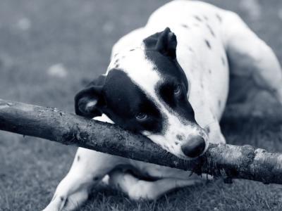 Kastanjer er giftige for hunde!