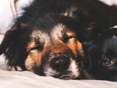 Hvilke planter er giftige for hunde