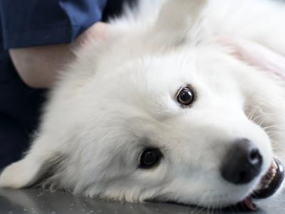 Korsbåndsskade hos hund