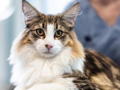 Tjek kat for knuder dyrlæge