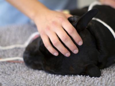 Kastration af hund