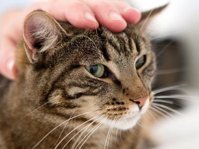 conseil en cas d'inflammation de l'oreille chez le chat chez le chat