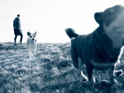 Gale sarcoptique chez le chien