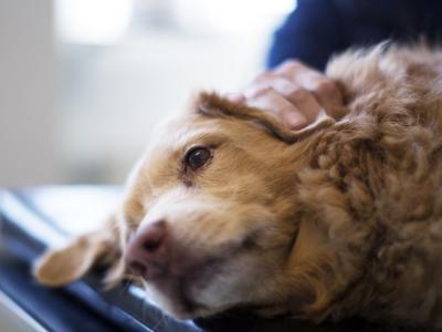 Lipome boule de graisse chez le chien