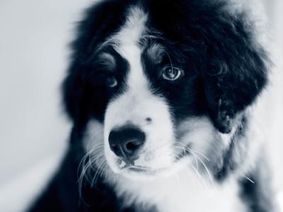 Maladies des voies urinaires chez le chien