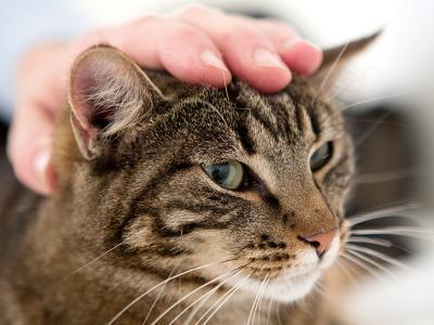 Malformation cardiaque chez le chat