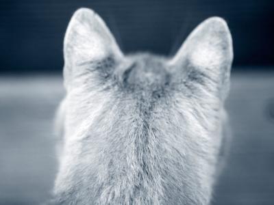 Les puces chez le chat