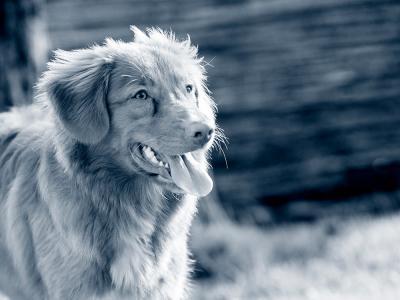 Castration chimique du chien