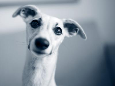 Endokardos hos hund