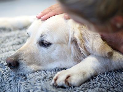 Epilepsianfall hos hund