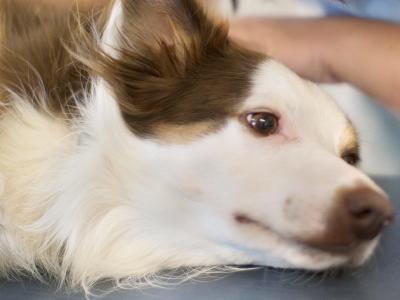 Analgesia y tratamiento del dolor en los hospitales veterinarios AniCura