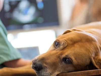 Ultraschalluntersuchung Hund