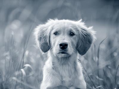 Rote Augen Hund