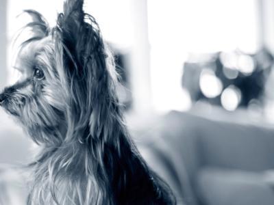 ohrenschmerzen-hund