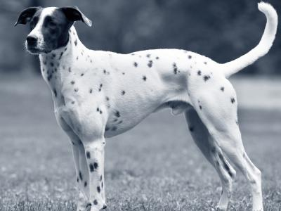 hond staande