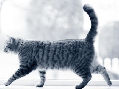 wandelende kat