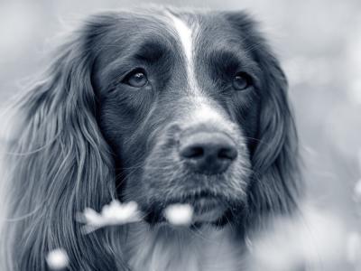Maagtorsie bij de hond: wat is het?