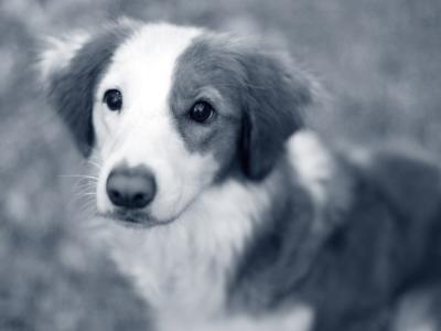 puppy kop
