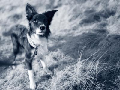 chemische castratie hond