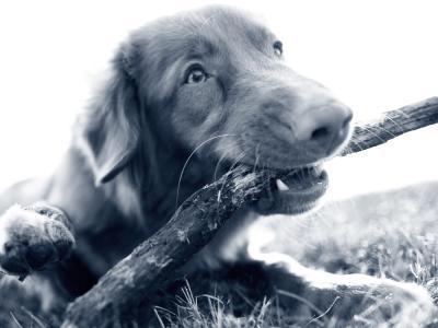 hond stok