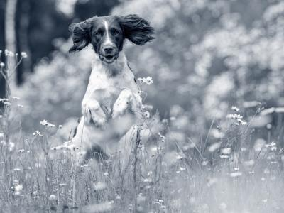 Hooikoorts bij hond