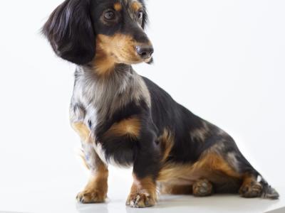 Hernia perinealis hond
