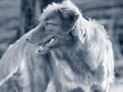 hond kunstmatige inseminatie