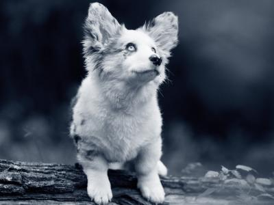 puppy grote oren