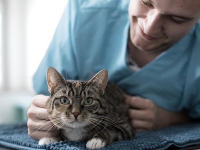 kat bij de dierenarts voor sterilisatie