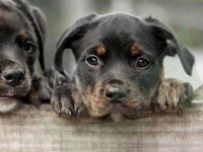 Twee rottweiler pups op hek
