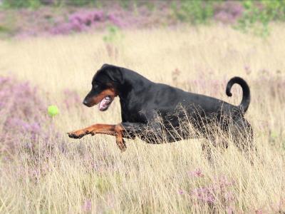 hond heide