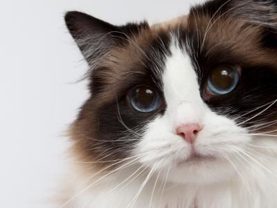 Paraveterinair borstelt kat