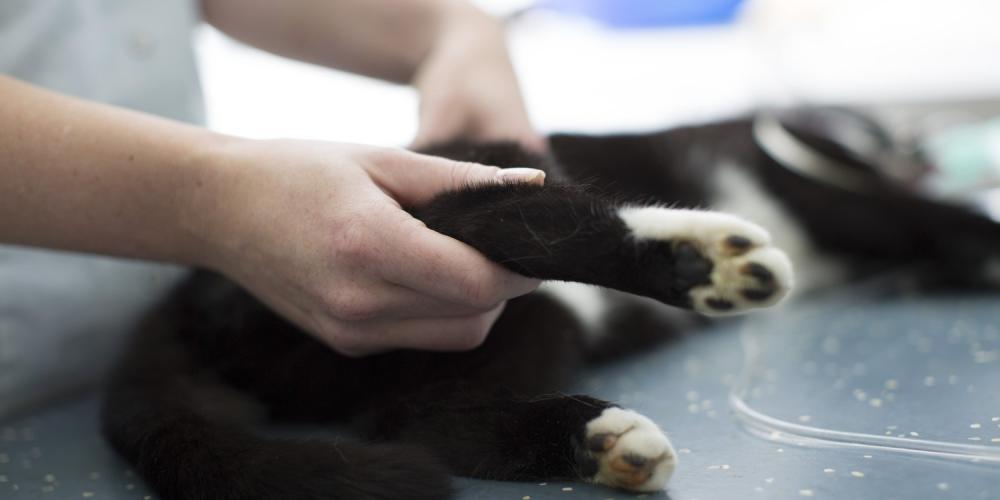 onderzoek kattenpoot
