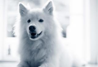 Glad vit hund
