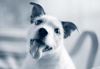 leende hund med tungan ute