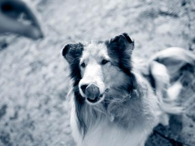 Collie hund sitter fint