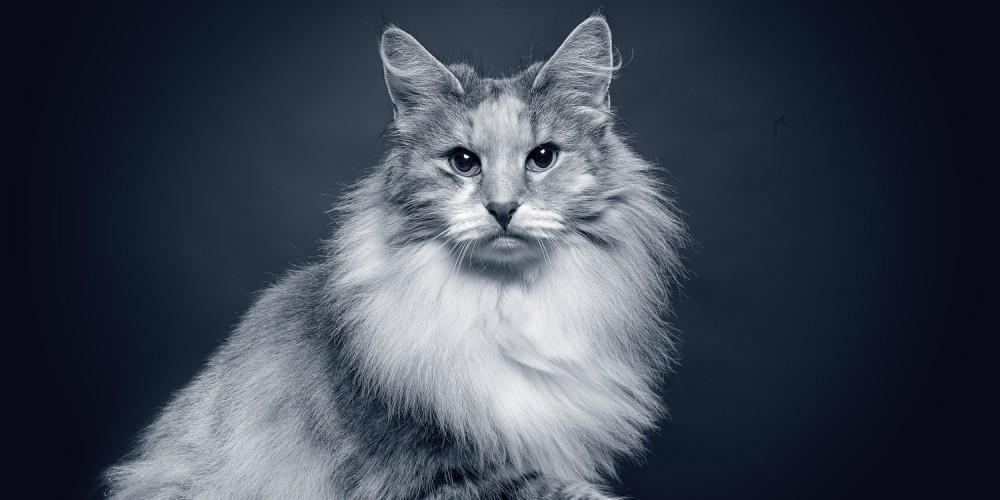 Senioren-Katze