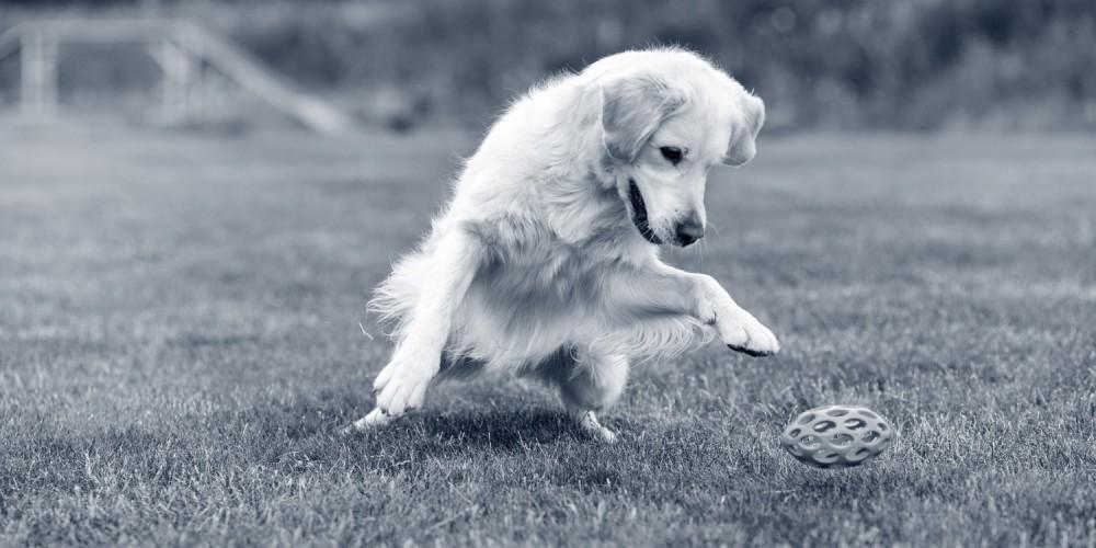 Golden Retriever beim Frisbee-Spielen
