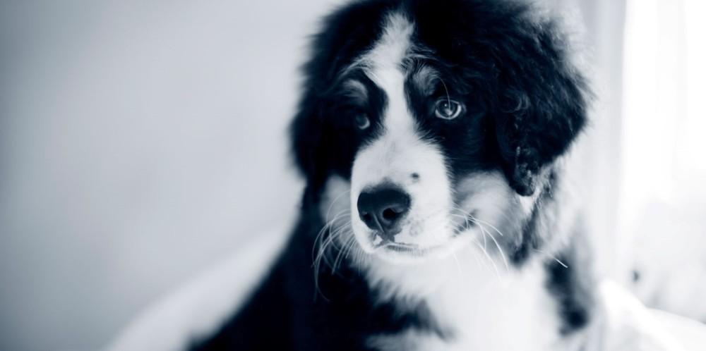 Feber hos hund