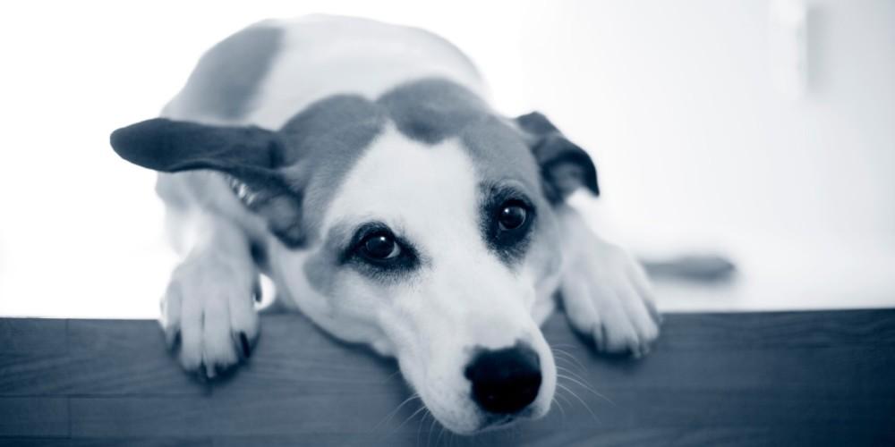 Køresyge hos hund
