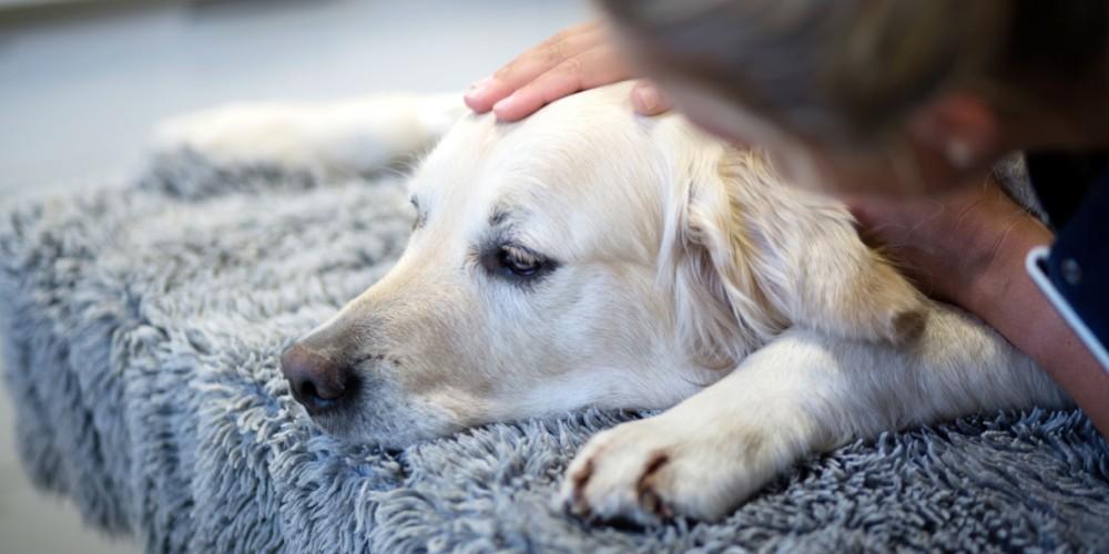 Hund diarre og opkast