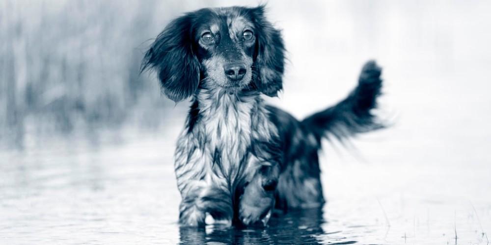 Løbetid hos hunde