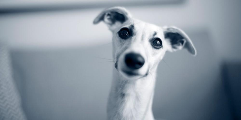 Hvordan renser jeg min hunds ører?