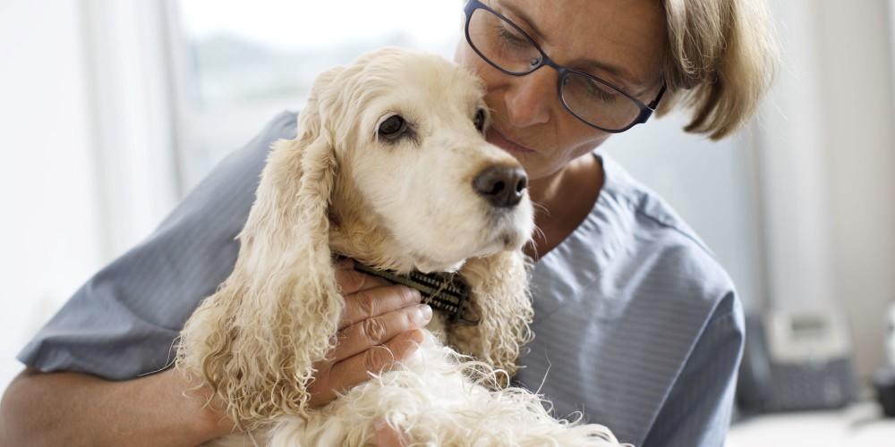 Blærebetændelse hos hund