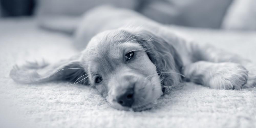 3 tips til at få en træt hvalp