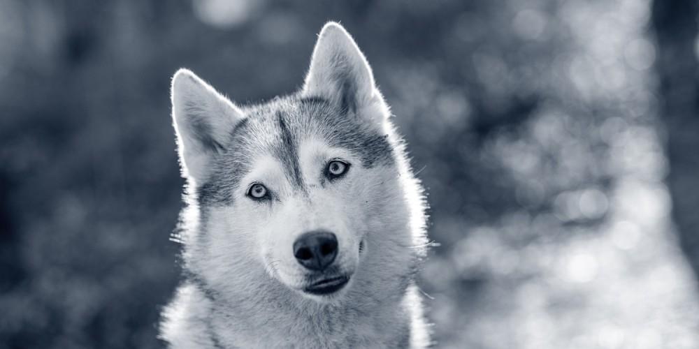 Fysisk kønsmodning for hanhunden