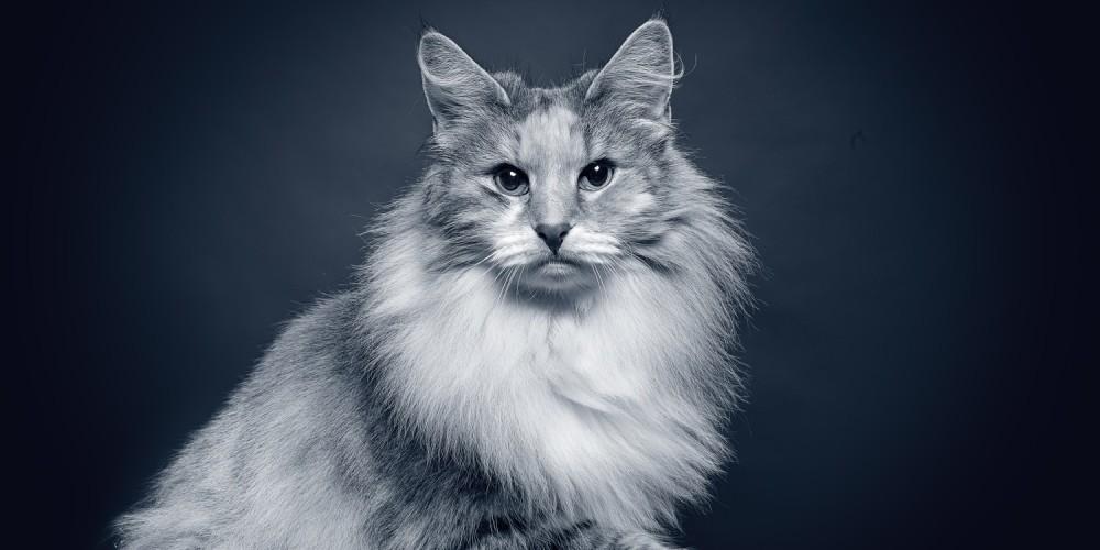 Seniortjek af den ældre kat