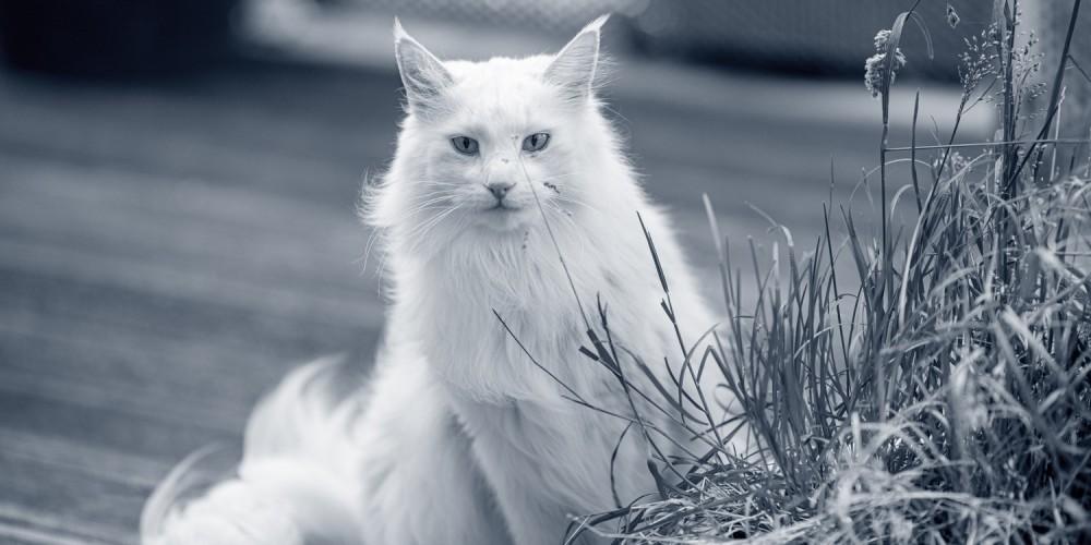 Kastration af kat
